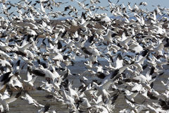 Astounding flock of snow geese rises upward Stock Images