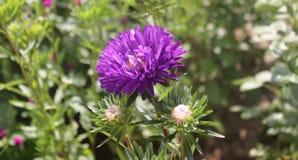 Astra в саде Стоковая Фотография