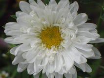 Astra blanco Imagen de archivo libre de regalías
