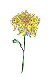Astra flower Stock Photos