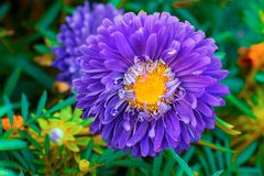 Astra flower growing in the garden. Autumn floral pattern. Gardening. Macro. Top view stock photography