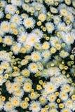 Astra Heather Asters is één van de beroemdste tuinbloemen royalty-vrije stock afbeelding