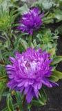 Astra purpury zdjęcia stock