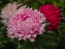 Astra rosa färger Royaltyfria Bilder
