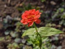 Astra viola di autunno Fotografia Stock