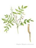Astragalo (membranaceus dell'astragalo) illustrazione di stock