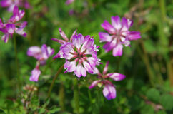 Astragalus. Field of astragalus in Japan.  They are planted to enrich the soil in the rice field Stock Image