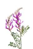 Astragalusvarius som isoleras på vit Royaltyfri Foto
