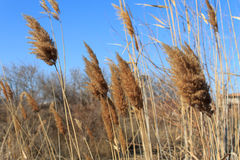 Astrakhan winter reeds in the wind. royalty free stock photos
