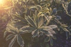 Закройте вверх на листьях Astrantia Стоковая Фотография RF