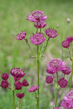 Astrantia stockbild