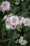 Astrantia Apiaceae Stock Images