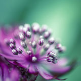 Astrantia close-up Royalty Free Stock Images