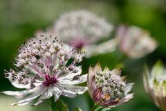 Astrantia flowers in bloom Royalty Free Stock Photos