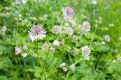 Astrantia Flowers Royalty Free Stock Photo