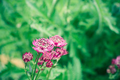 Astrantia flowers blooming Stock Photo