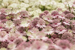 Astrantia flowers, pale pink and white color, close up Stock Photos
