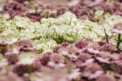 Astrantia flowers, pale pink and white color, close up Royalty Free Stock Image
