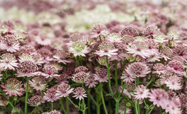 Astrantia flowers, pale pink and white color, close up Stock Photo