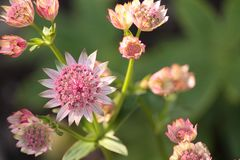 Astrantia `Hattie`s Pin Cushion` viewed from above outdoors royalty free stock image