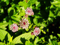 Astrantia major - great masterwort Stock Image