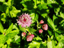 Astrantia major - great masterwort Royalty Free Stock Photography