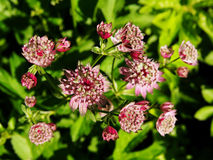 Astrantia major - great masterwort Royalty Free Stock Photos