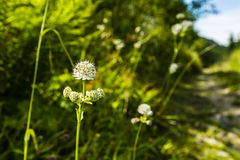 Astrantia major, great masterwort. Stock Photography