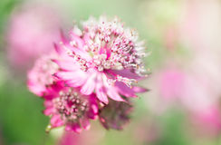 Astrantia major, selective focus Royalty Free Stock Photos