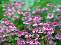 Astrantia Maxima Royalty Free Stock Photo