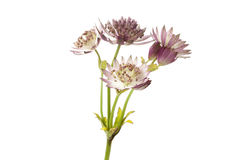 Astrantia Stock Photography