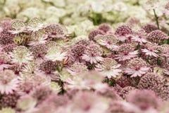 Astrantiablumen, erblassen - rosa und weiße Farbe, Abschluss oben Stockfotos
