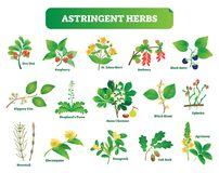 Astringent herbs vector illustration collection. Natural homeopathy wild plants botanic set. Health and nature Stock Photography