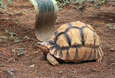 astrochelysradiatasköldpadda Arkivfoton