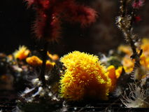 Astroides calycularis coral Stock Photos