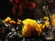 Astroides calycularis coral stock photos