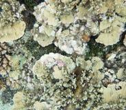 Astrolabium rafa: Koralowy zbliżenie Zdjęcie Stock