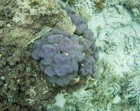 Astrolabium rafa: Unikalny Purpurowy koral Zdjęcia Stock
