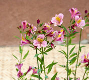 Astromelia Royalty Free Stock Photo