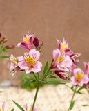 Astromelia Stock Photo