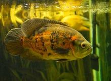 Astronaut fish in aquarium beautiful orange view. Astronaut fish in aquarium beautiful orange skin, swimming right side stock photos