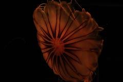 Astronautyczni Jellyfish Zdjęcia Royalty Free