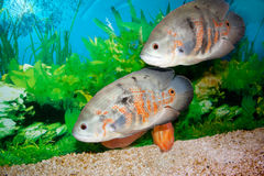 Astronotus Royalty Free Stock Image