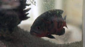 Astronotus fish in a home Aquarium. HD stock footage
