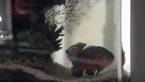 Astronotus fish in a home Aquarium. HD stock video