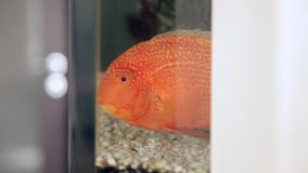 Astronotus fish in a home Aquarium. HD stock video footage