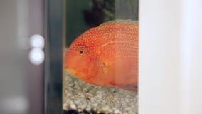 Astronotus fish in a home Aquarium stock video footage