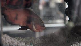 Astronotus fish in a home Aquarium stock video