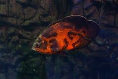 Oscar fish floating in the aquarium. Astronotus floating in the aquarium. Oscar fish royalty free stock photo