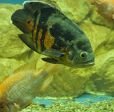 Astronotus ocellatus Stock Photos